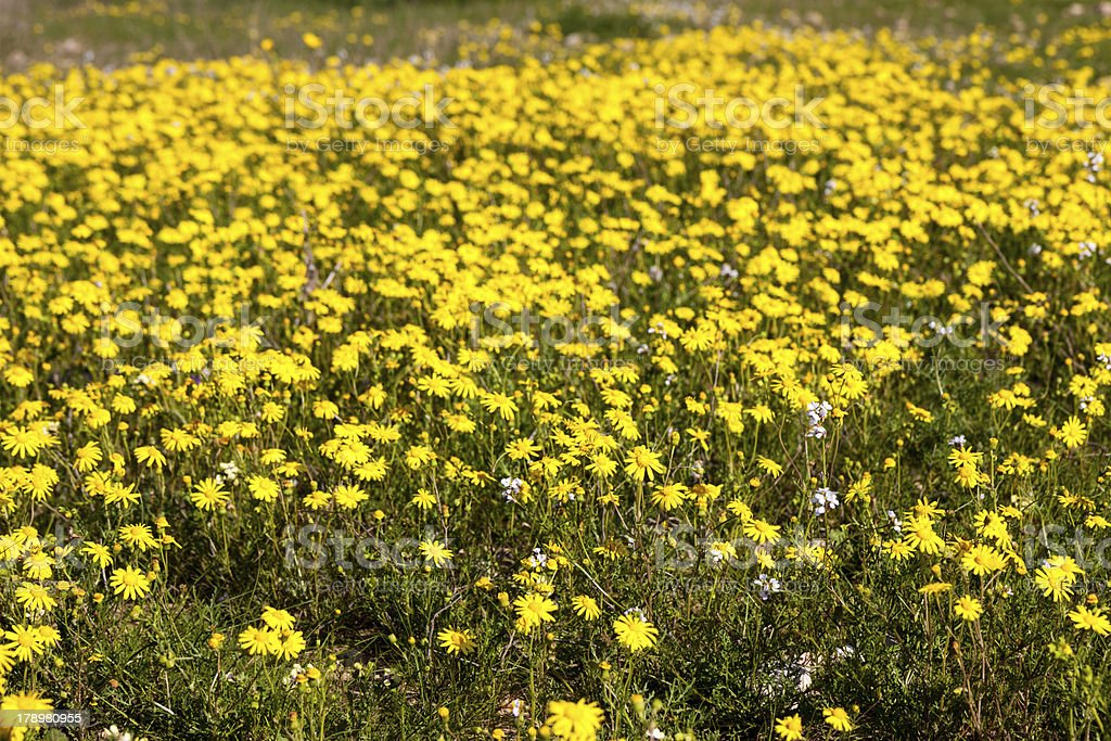 Big field with bright yellow camomile royalty-free stock photo