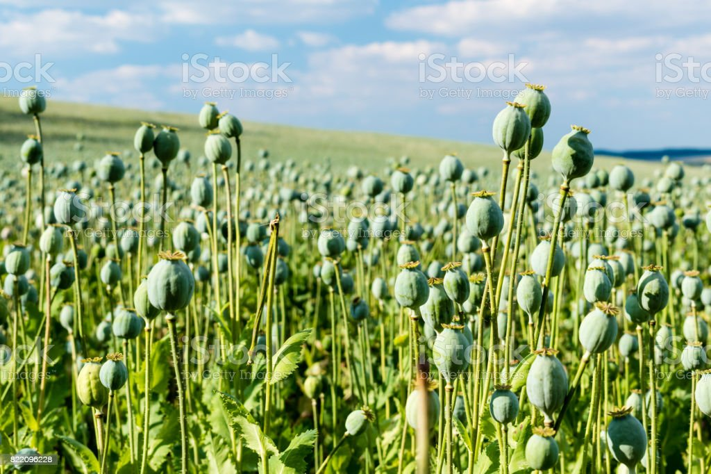 Big field with growing green poppies stock photo