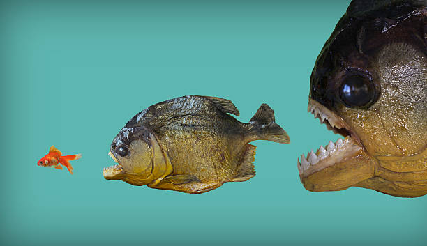 Big fish eats smaller one stock photo
