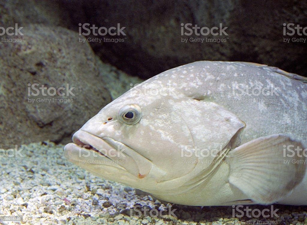 Big fish in aquarium royalty-free stock photo