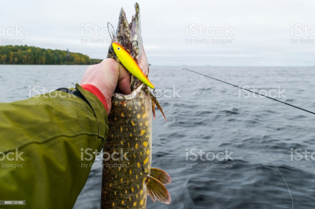 Big Fish In Hands Of Fisherman Fisherman Caught And Holding Big Pike ...