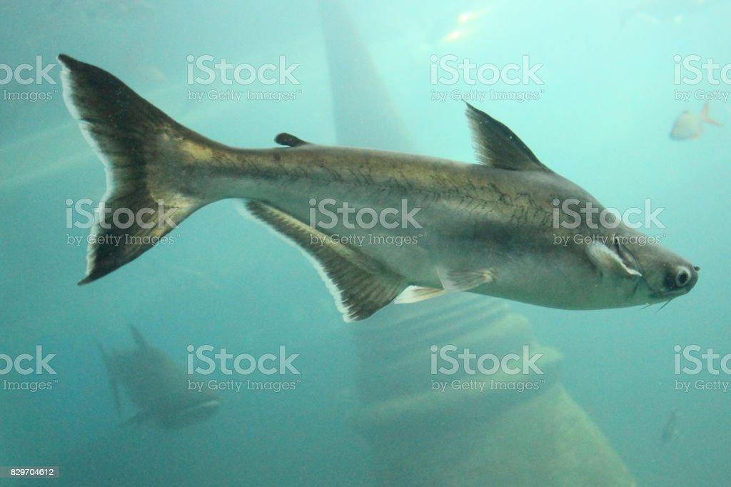 Big fish is underwater. stock photo