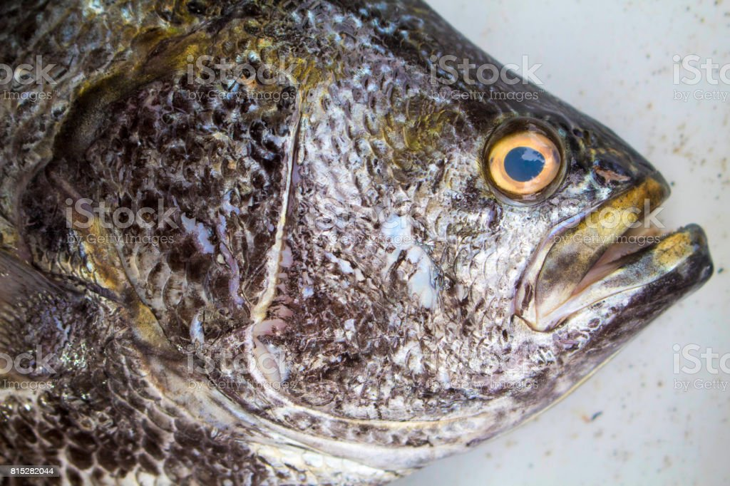 Big fish on market. Sea fish head closeup with gills and scale texture. stock photo