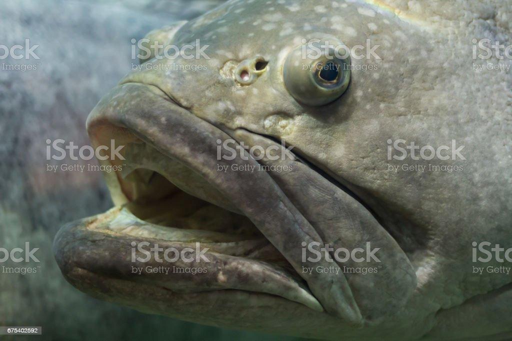 Big fish royalty-free stock photo