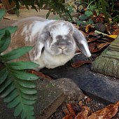 Big floppy rabbit close up. Lop eared rabbit at Easter