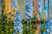 Big flower delphinium. High garden blue flowers. Candle Delphinium,many beautiful purple and blue flowers blooming against a background of a colorful fence.