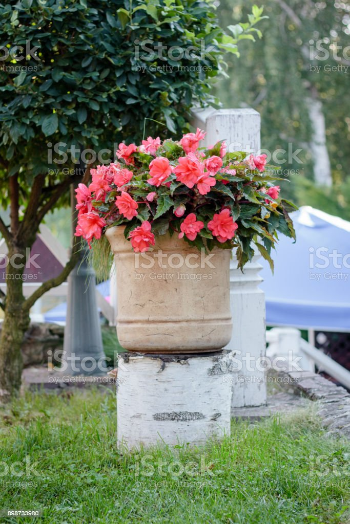 Big flowerpot with begonia flowers on park stock photo