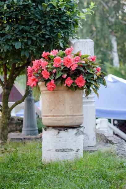 Grote bloempot met begonia bloemen op park foto