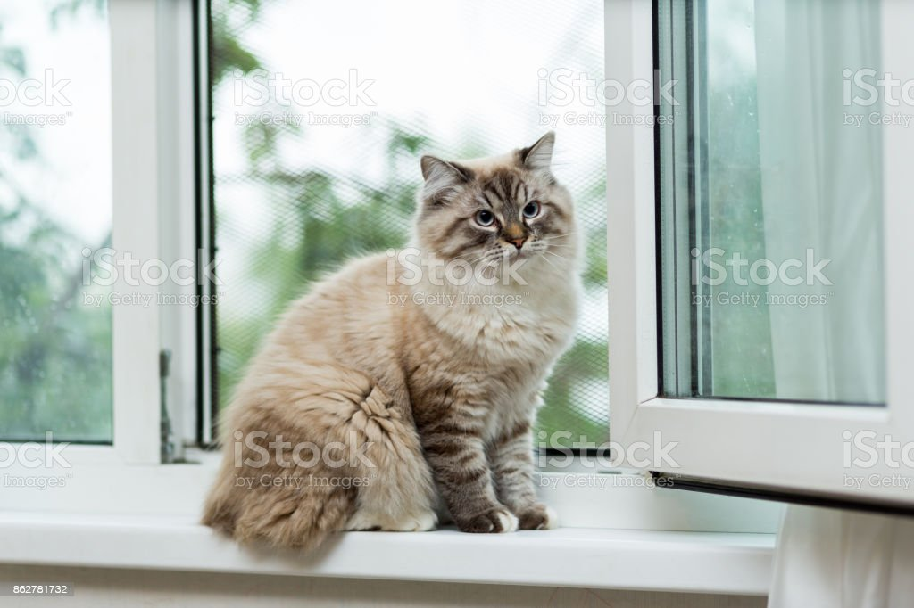 Big fluffy beige cat at the age of 9 months, sitting by the window with metal bars stock photo