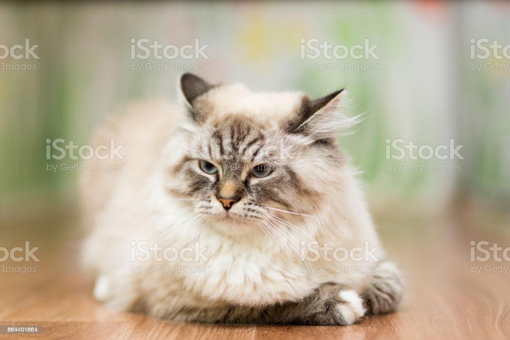 Big fluffy beige cat at the age of 9 months, with blue eyes lying on the floor stock photo