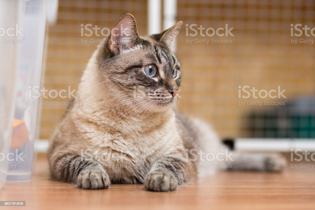 big fluffy cat with blue eyes lies on the floor stock photo