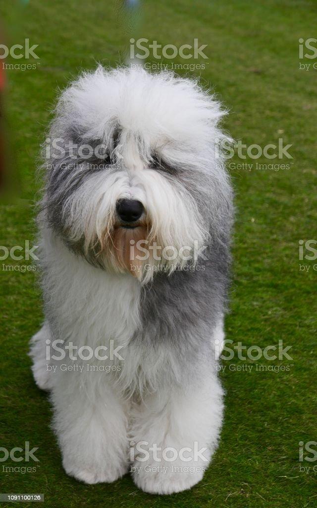 Big Fluffy Shaggy Dog Stock Photo