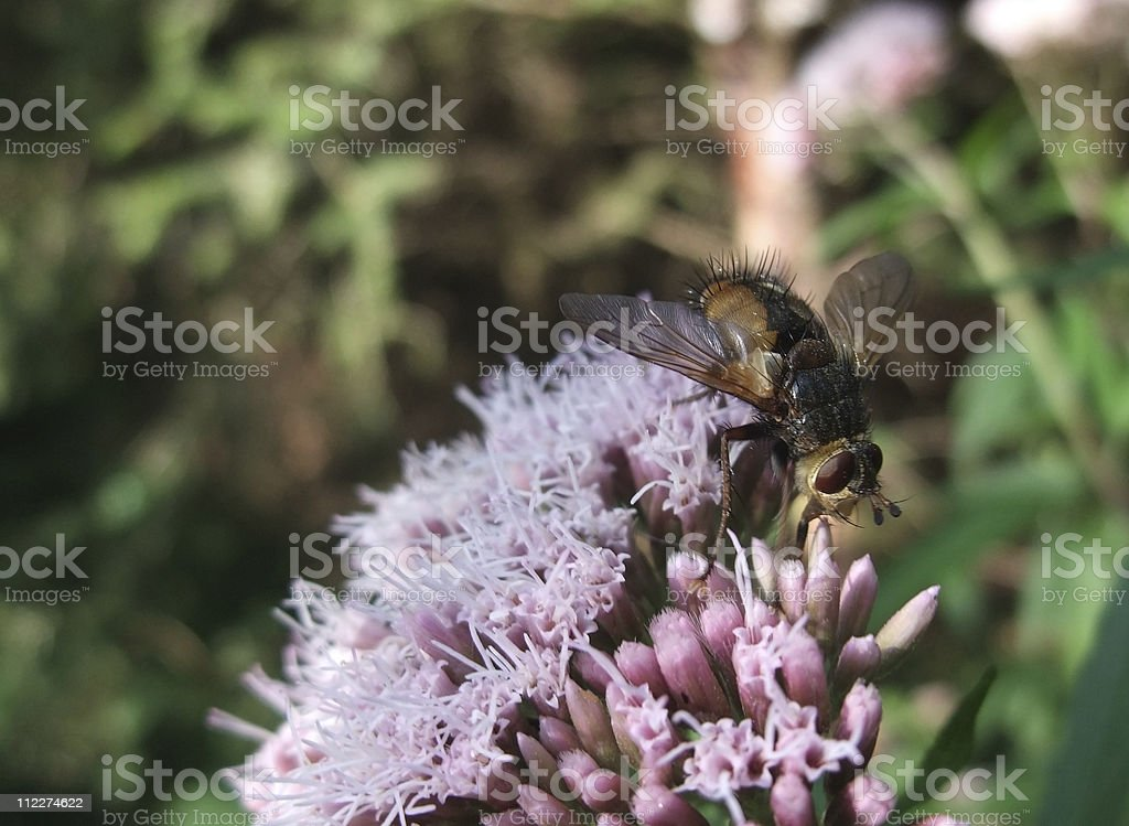 big fly in natural back royalty-free stock photo