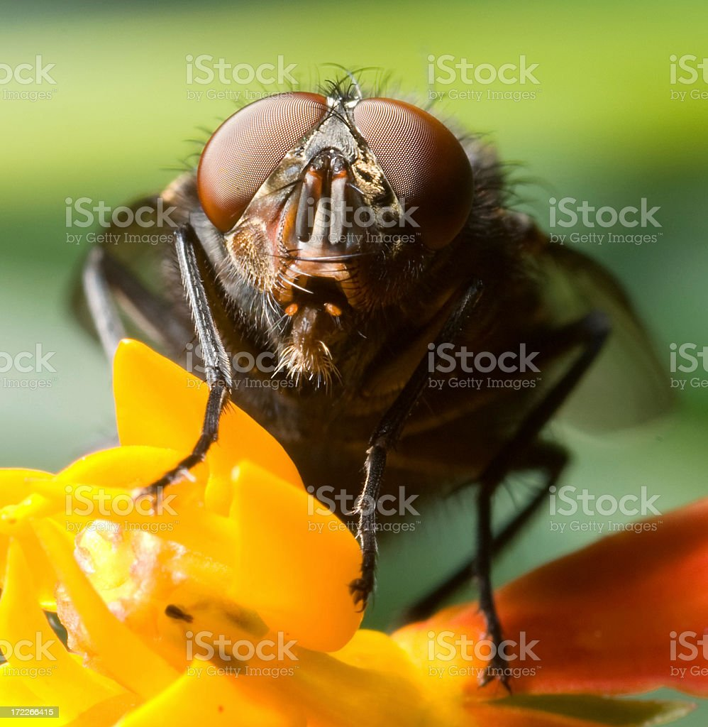 Big Fly royalty-free stock photo
