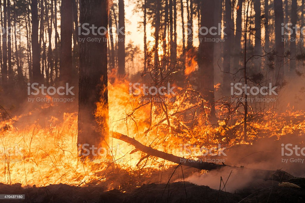 Big forest fire in pine stand stock photo