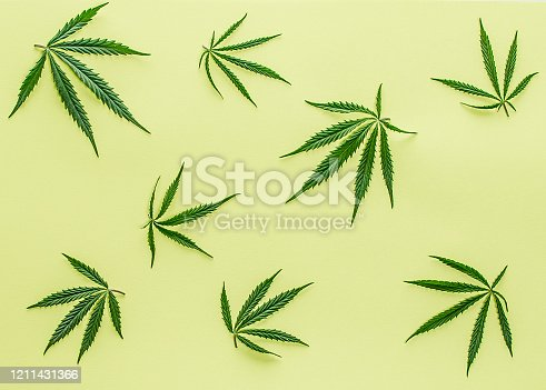 Big fresh green organic cannabis marijuana leaves isolated on a green color background with copy space for your text. Happy life with the ganja smoking concept. Addiction or medical help prescription.