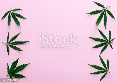 Big fresh green organic cannabis marijuana leaves isolated on a pink color background with copy space for your text. Happy life with the ganja smoking concept. Addiction or medical help prescription.