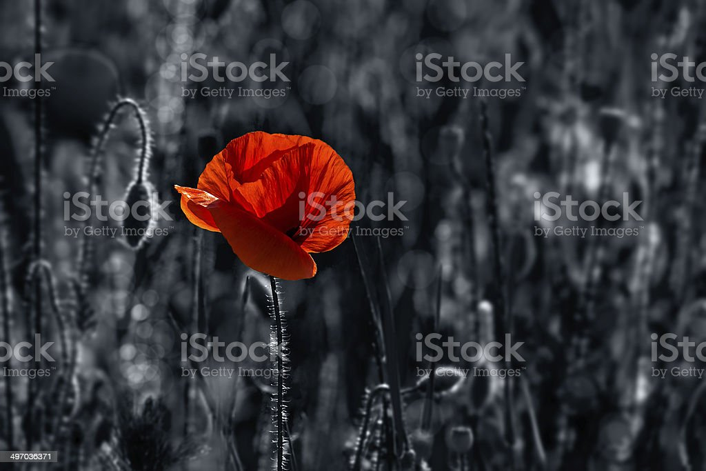 big fresh poppy in the field stock photo