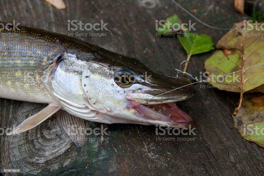 Süßwasser Hecht mit Fischköder in Mund - Lizenzfrei Aktivitäten und Sport Stock-Foto