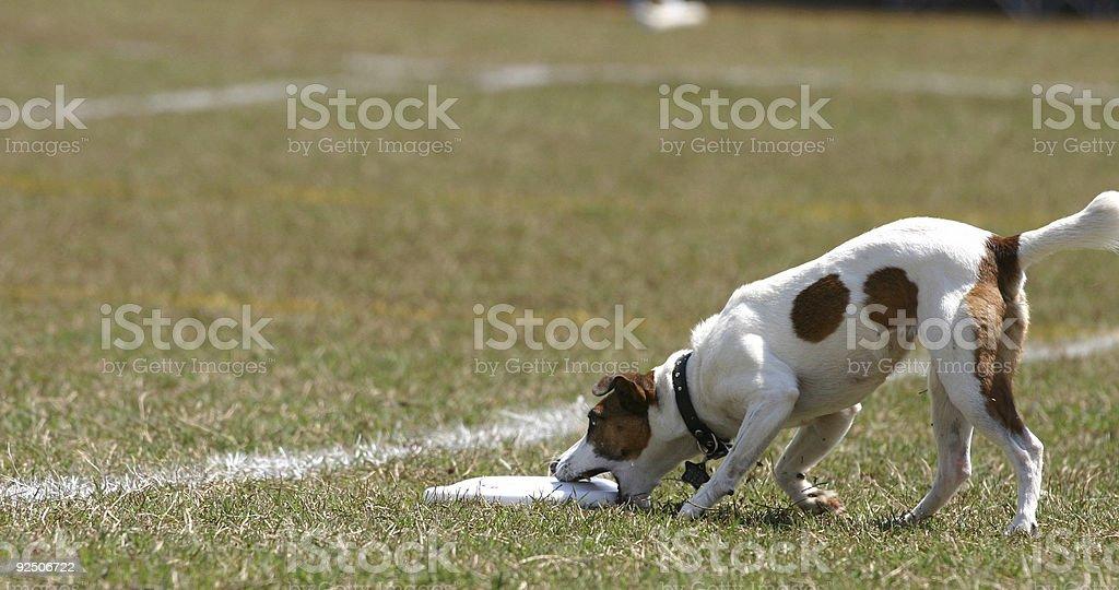 Big Frisbee, Small Dog royalty-free stock photo