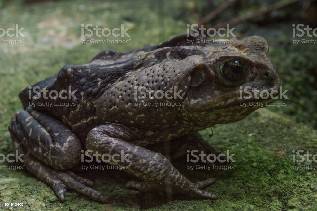big frog stock photo
