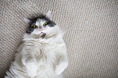 silver cat on the floor, long haired Siberian breed of cat