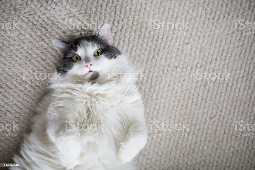 Big Furry Cat Laying On Back stock photo