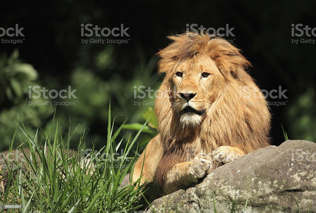 big furry cat royalty-free stock photo