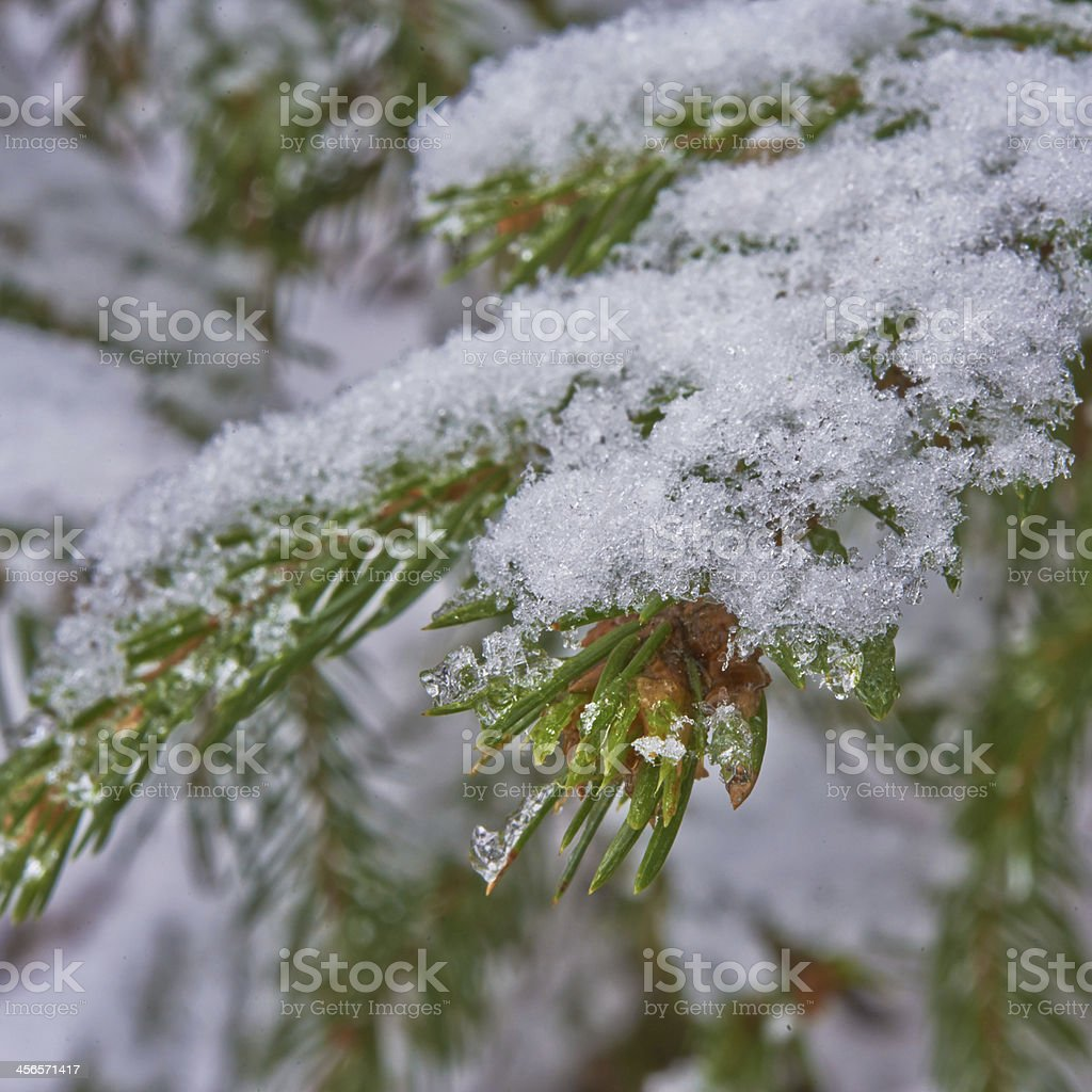 big fur-tree branch with snow. stock photo