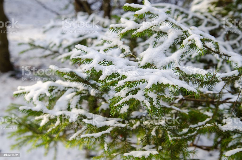 big fur-tree branch with snow stock photo