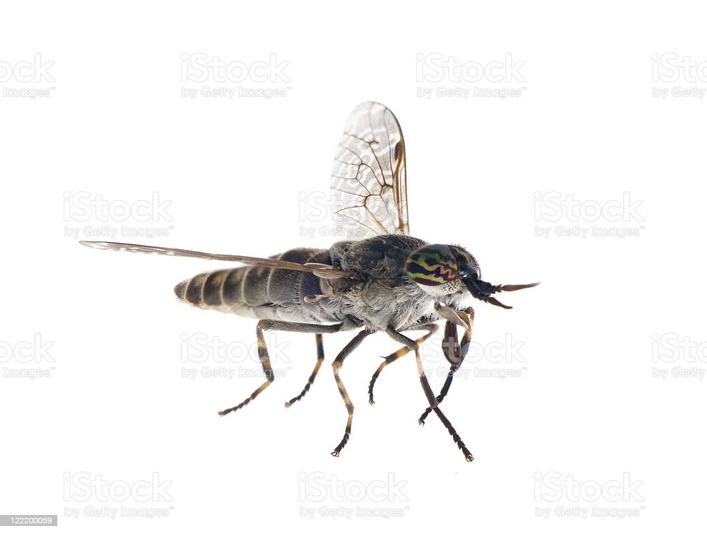 big gadfly with color eyes stock photo
