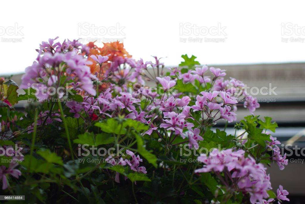 Big geranium on the balcony zbiór zdjęć royalty-free