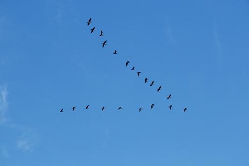 Big goose, queue fly