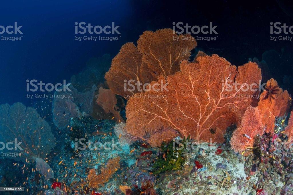 Big Gorgonian at underwater world of  Pulau Weh Marine Park , Andaman Sea , Banda Aceh , Sumatra Indonesia stock photo