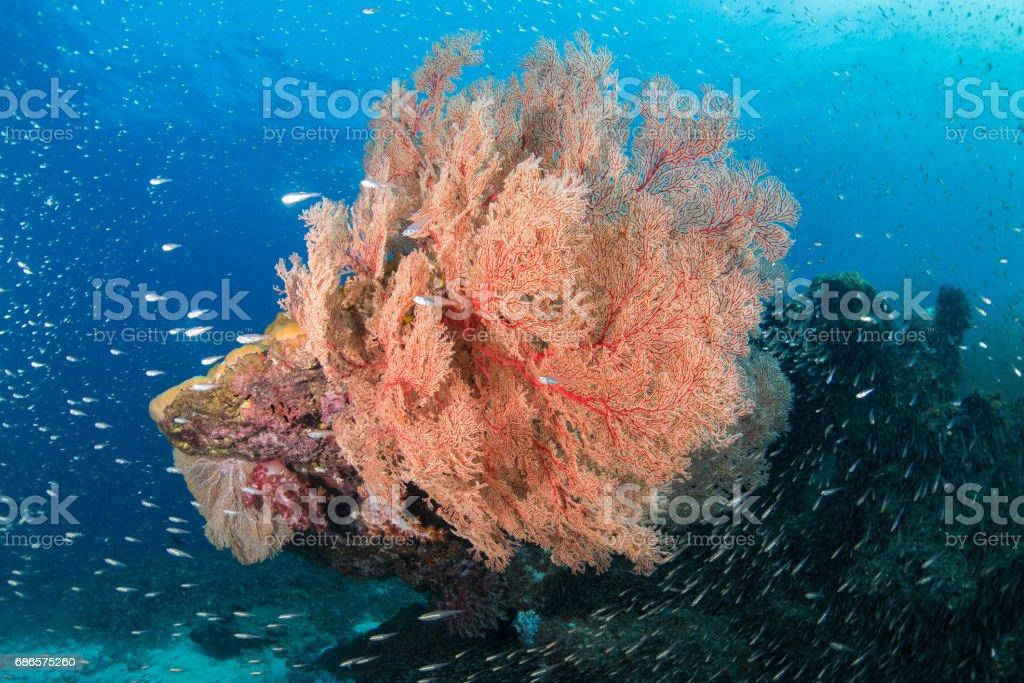 big gorgonian foto stock royalty-free