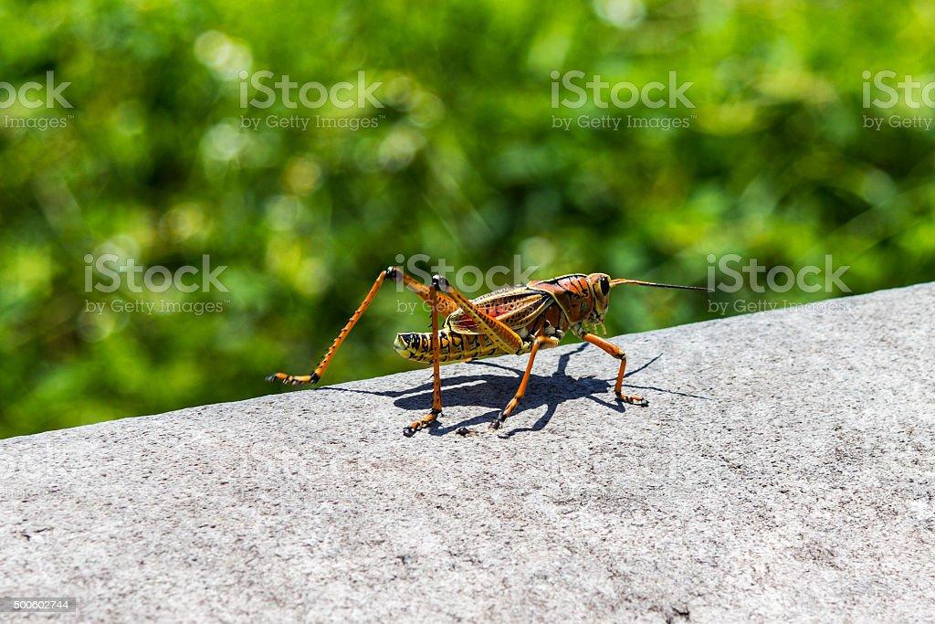 Big grasshopper on stone in Florida stock photo