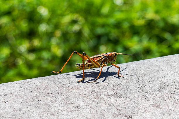big grasshopper on stone in florida - locust swarm stockfoto's en -beelden