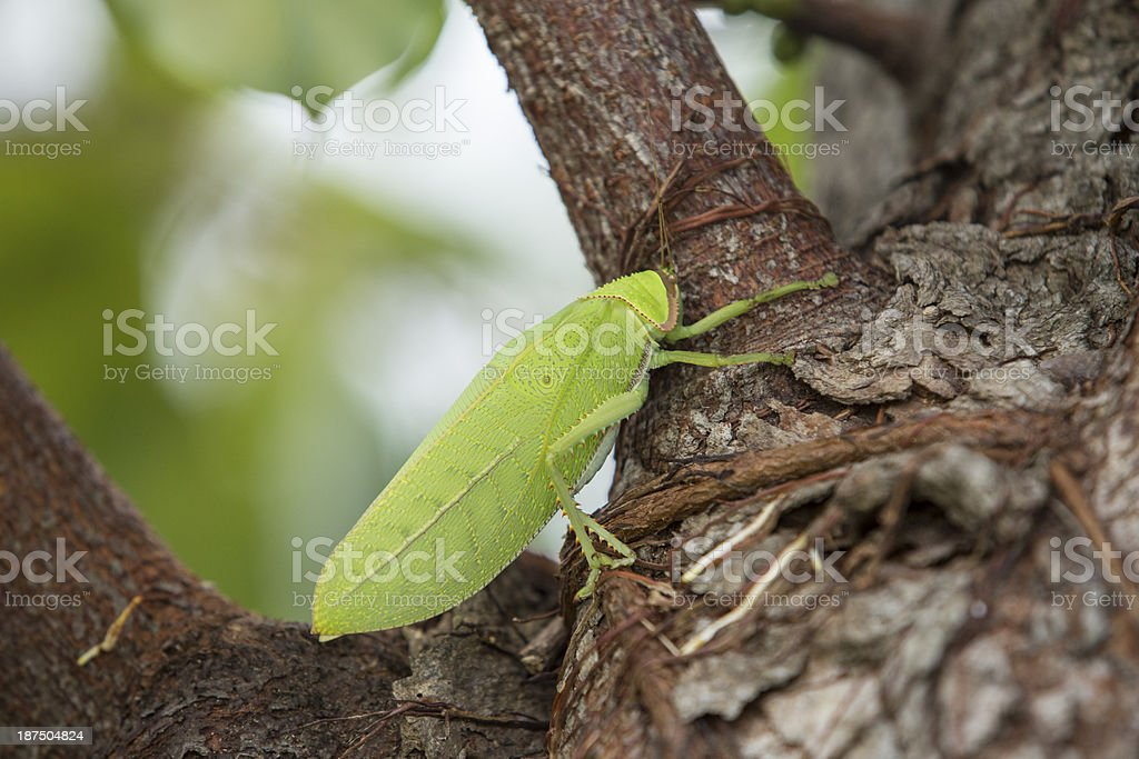 Big Grasshopper on tree royalty-free stock photo