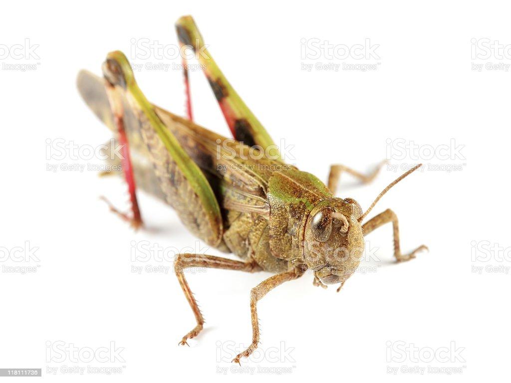 Big grasshopper stock photo