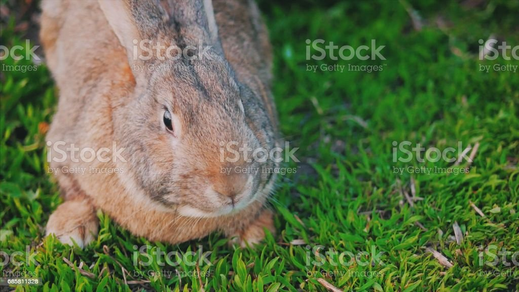 Big gray bunny sitting on green grass stock photo