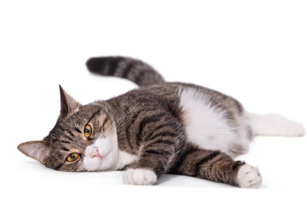 Big gray cat lazily lying picture id881019398?b=1&k=6&m=881019398&s=612x612&w=0&h=hawb6nm3dmytmvtprp tnowzzzohqz461q pgecdqfu=