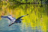 istock A big Great Blue Heron in Lake Elsinore, California 1251240427
