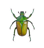 Big green bug Cetonia aurata isolated on a white background.