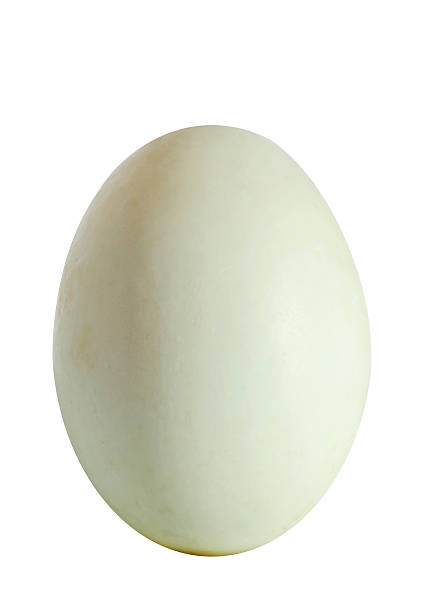 Big green duck egg, isolated on white background, close up stock photo