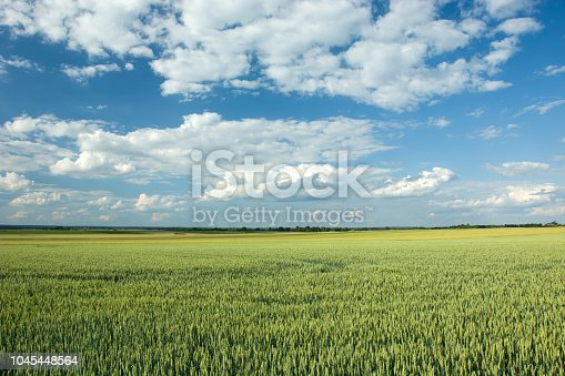 Big green field of wheat, horizon and white clouds on blue sky