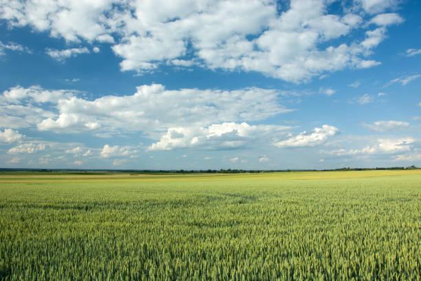 stora gröna fält av vete, horisont och vita moln på blå himmel - horisont bildbanksfoton och bilder