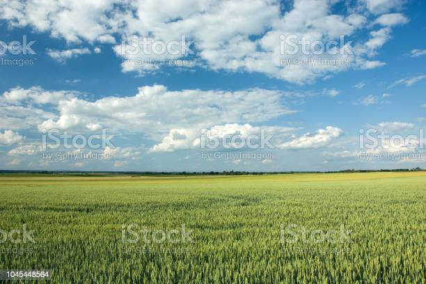 Photo of Big green field of wheat, horizon and white clouds on blue sky