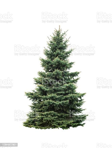 Photo of Big green fir tree isolated on white background