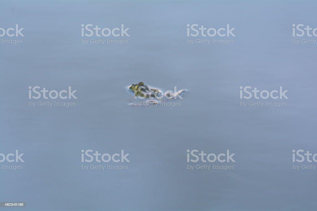 big green frog stock photo