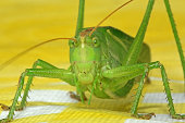Big green grashopper on yellow table cloth. Our kids found this guy in our living room!
